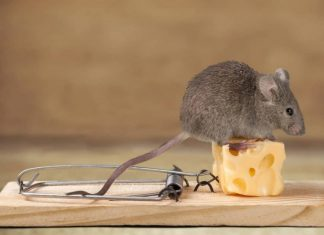 best bait for mice